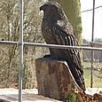Buzzard at Hale Golf Course