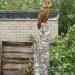 Small Stump Tawny style Owl