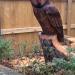 A large Tawny style Owl