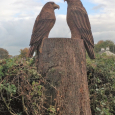 Two Buzzards in Oak added to a stump